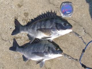 4月10日釣果 黒鯛2尾