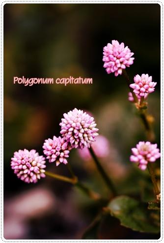 Polygonum capitatum2008