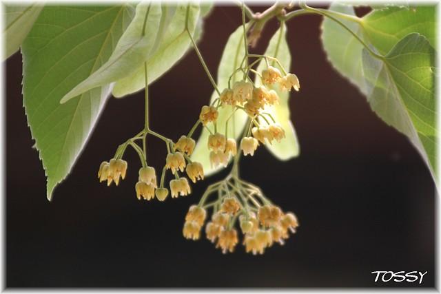 ボダイジュの花