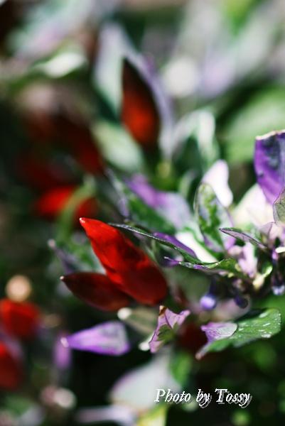 トウガラシ 実 と花