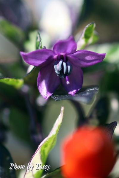 トウガラシ 花1