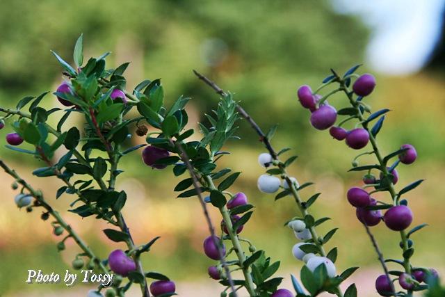 ペルネッチア '真珠の木'2