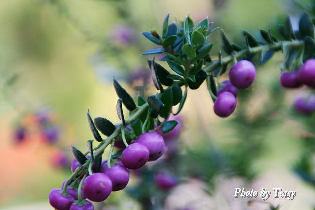 ペルネッチア '真珠の木'1