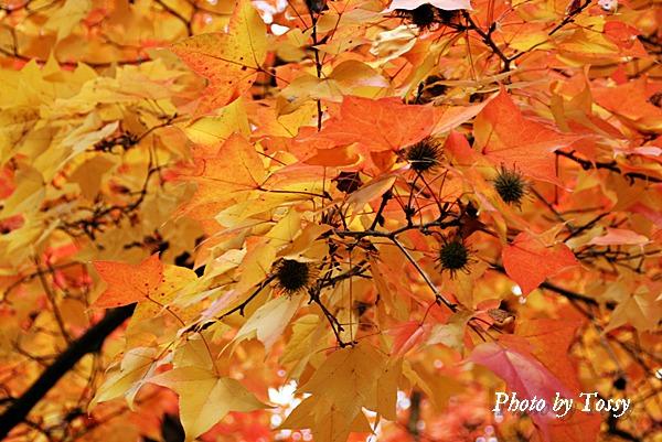 フウの紅葉と実