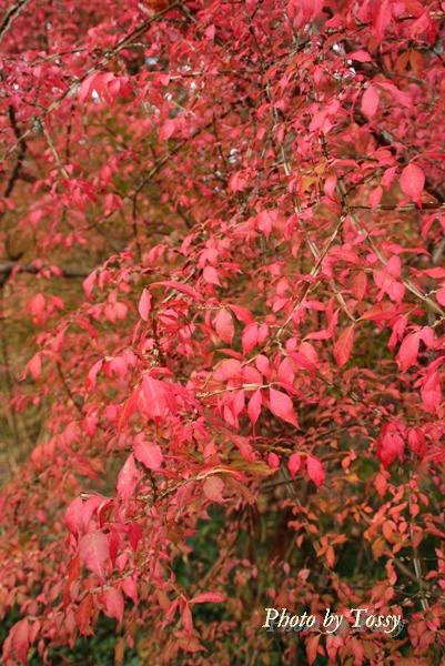 ニシキギ2 紅葉