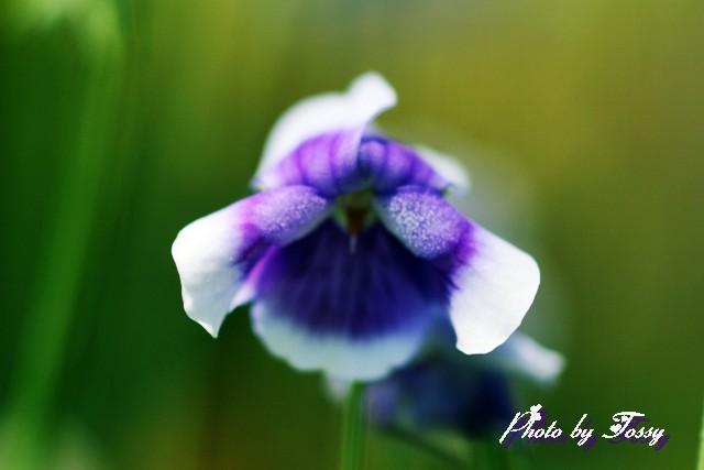 スミレに似た花4