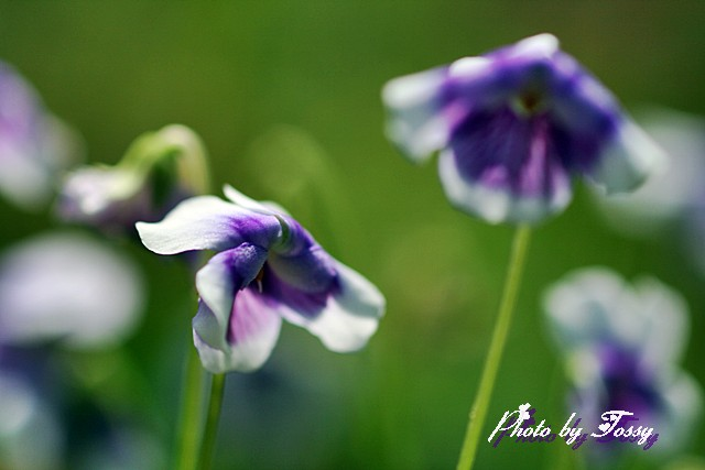 スミレに似た花5