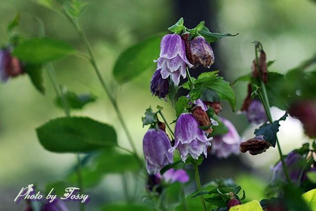 ホタルブクロ 八重咲き1