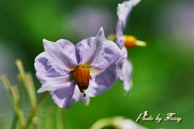 ジャガイモの花1