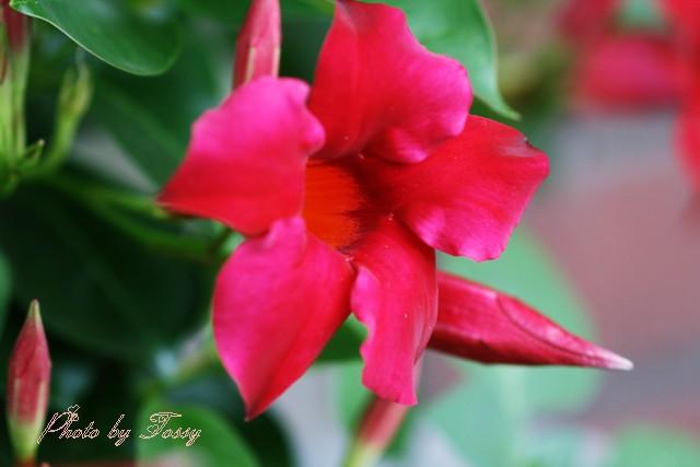 マンデビラ 赤花