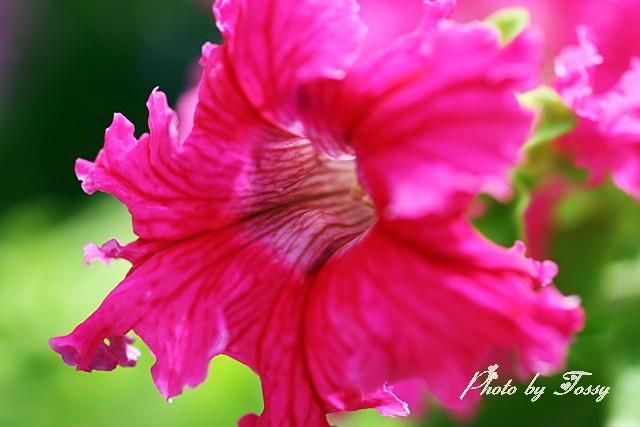 ペチュニア フリル咲き1