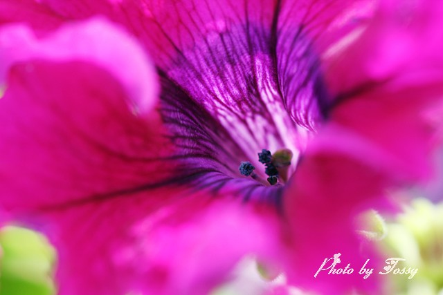 ペチュニア フリル咲き2