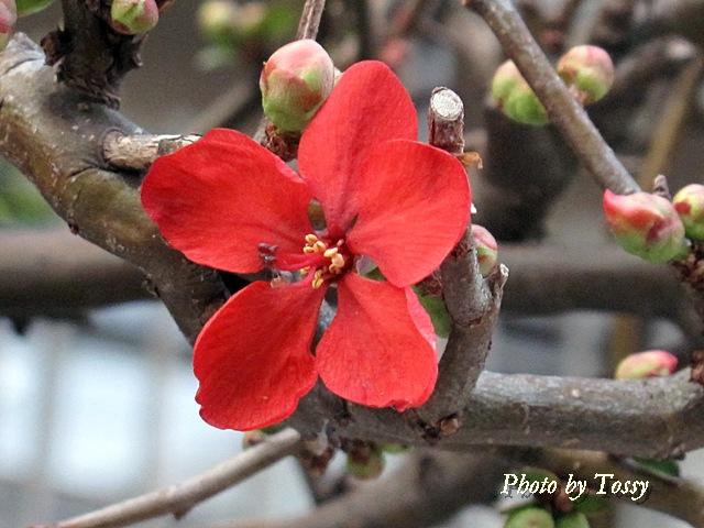 ボケの花1
