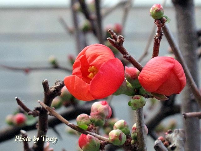 ボケの花 つぼみ