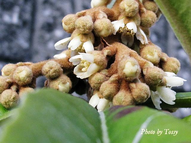 ビワの花2