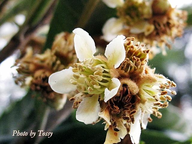 ビワの花1