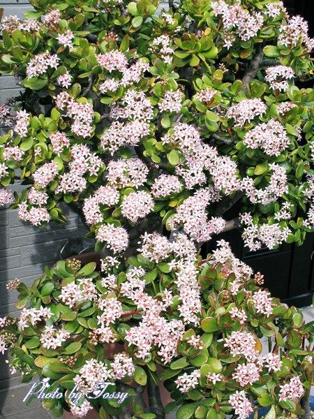 金のなる木の花3