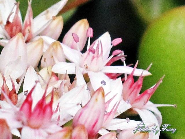 金のなる木の花2