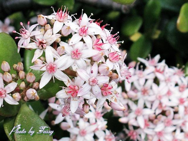 金のなる木の花1