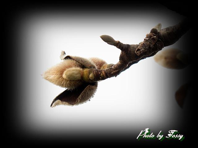 ハクモクレンの冬芽1