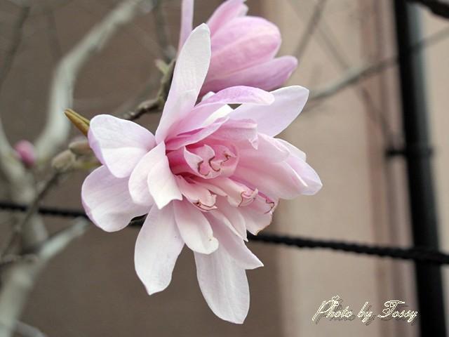 ピンクのシデコブシ
