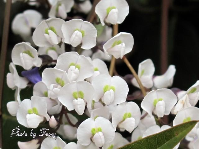 ハーデンベルギア4 白花