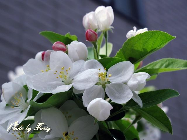ひめりんご 花3