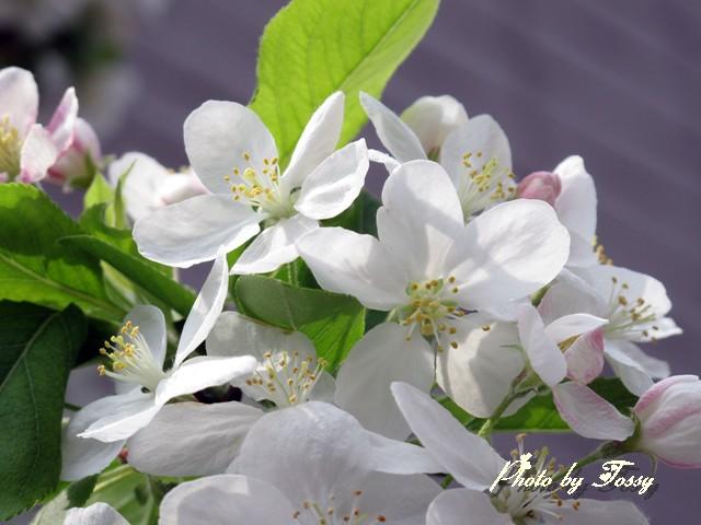 ひめりんご 花1