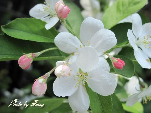 ひめりんご 花2