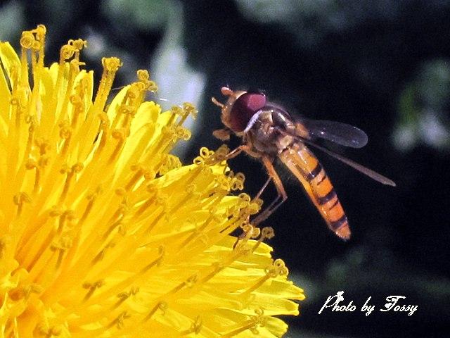 西洋タンポポ4 ハチ