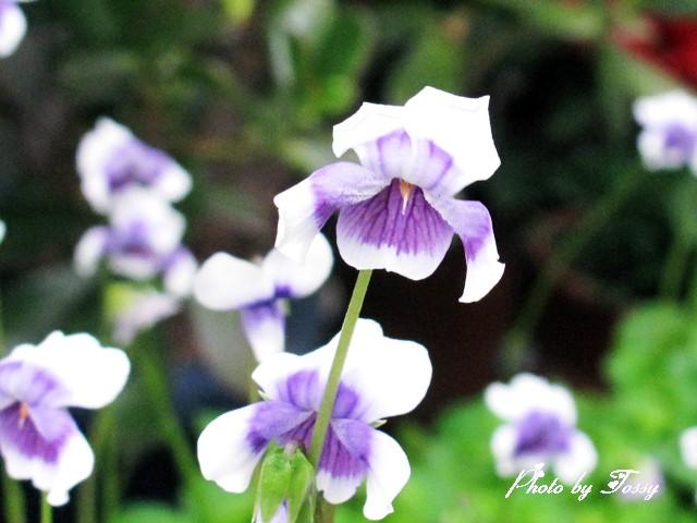 スミレに似た花1