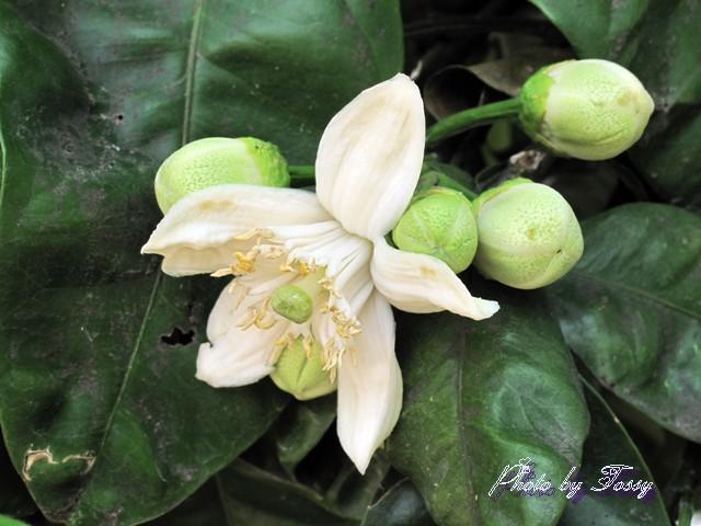 ぶんたんの花1