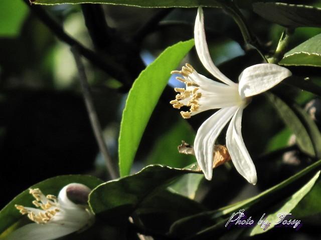レモンの花1