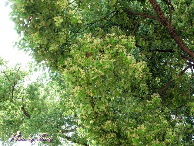 クスノキの花6
