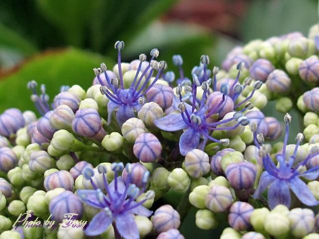 アジサイ 真花