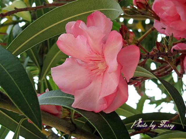 キョウチクトウ 八重咲き2