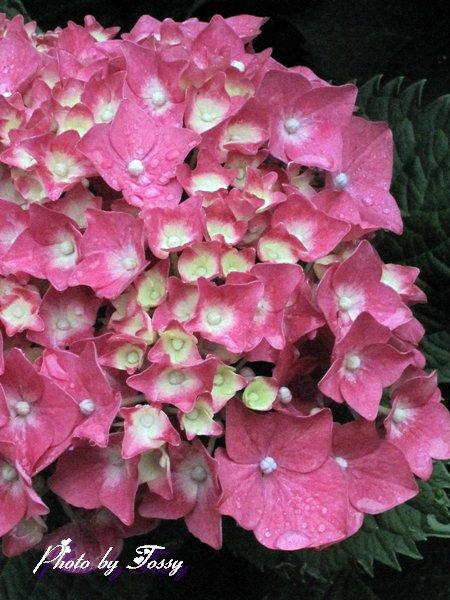 濃いピンクのアジサイ