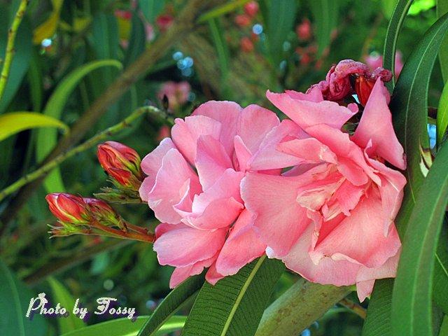 キョウチクトウ 八重咲き1