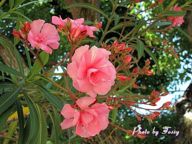キョウチクトウ 八重咲き3