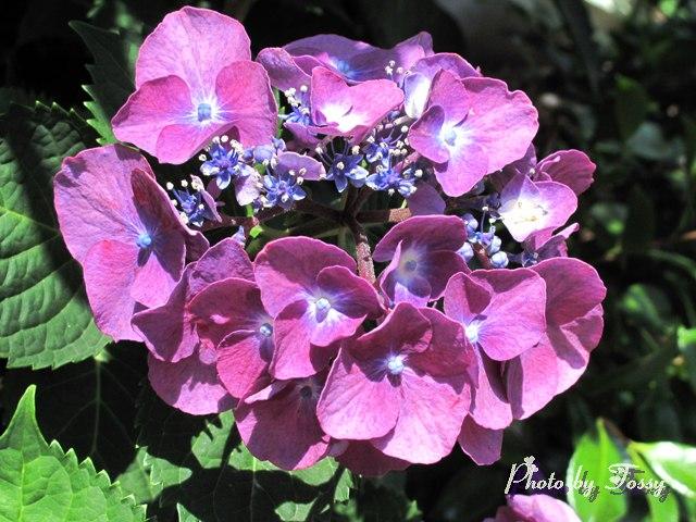 アジアイ 真花6