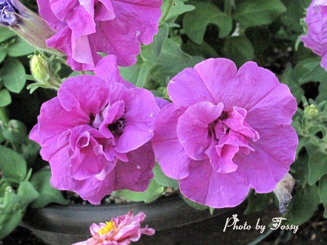 ペチュニア ピンク 八重
