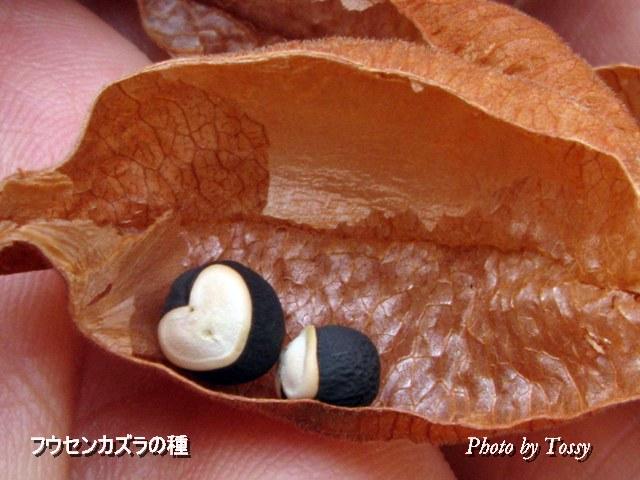 フウセンカズラの種