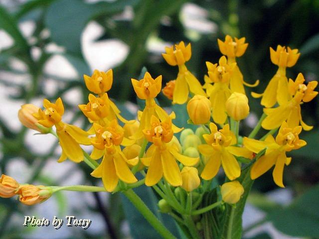 アスクレピアス黄色