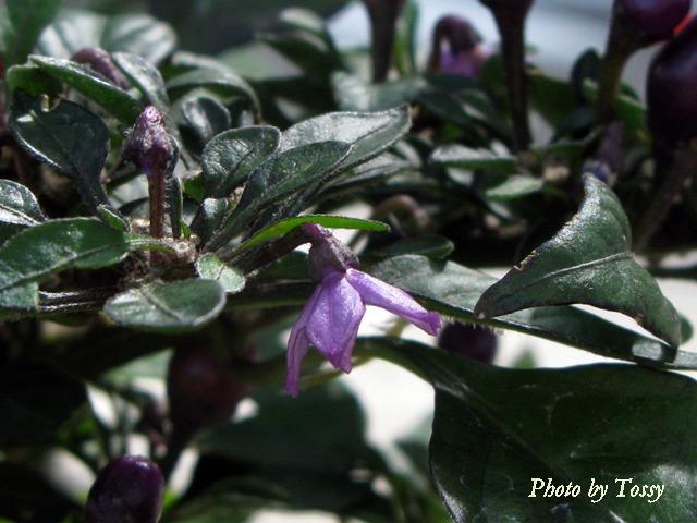 トウガラシ 花