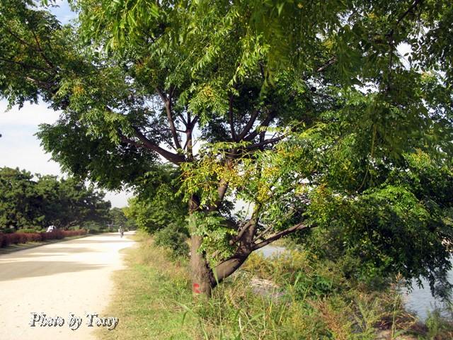 センダンの木