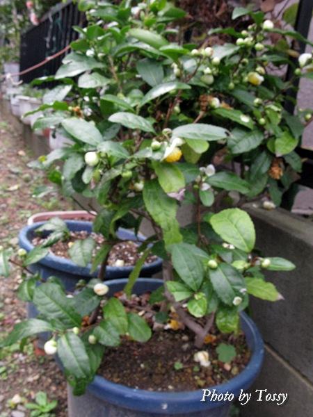 お茶の花3