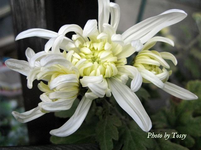 オオキクのわき芽の花