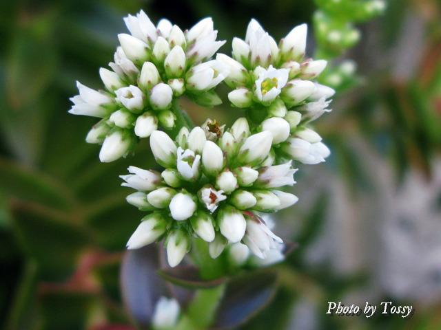 ヒマツリ 花