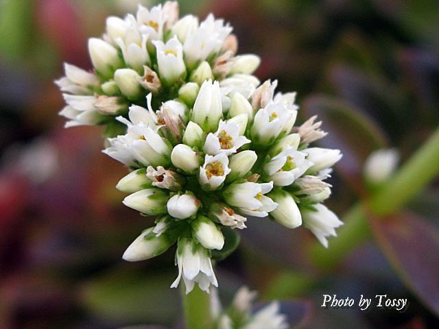ヒマツリ 花2
