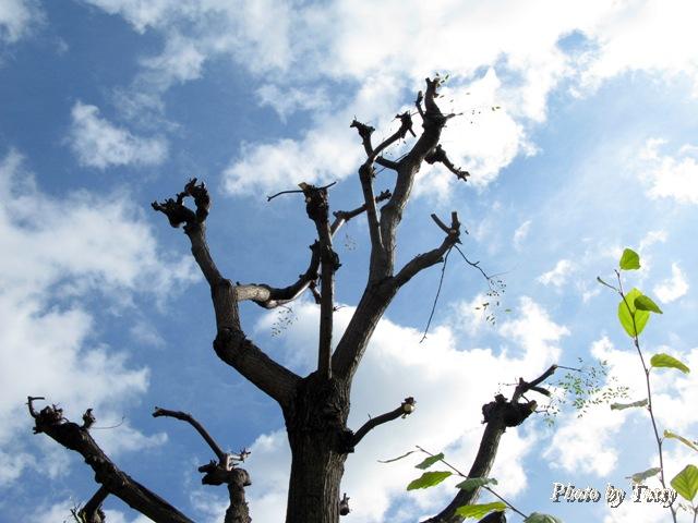 強剪定されたセンダンの木
